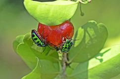 Lychee Shield  Bug Stock Image