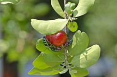 Lychee Shield  Bug Stock Images