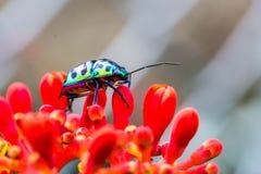 Lychee Shield Bug Stock Image