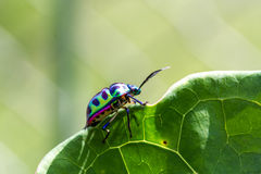 Lychee Shield Bug Royalty Free Stock Photos