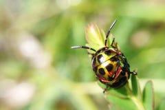 Lychee shield bug stock photos