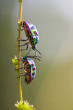 Lychee Shield Bug  on nature Royalty Free Stock Image