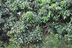 Lychee tree Stock Photography