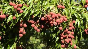 Lychee tropical fruit on branch flowing from wind blow in farm. Lychee tropical fruit on branch flowing from wind blow in the farm stock footage