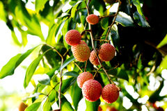Lychees Image stock