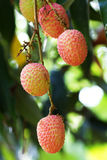 Lychees Foto de Stock Royalty Free