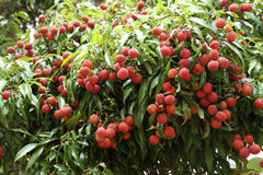 Lychees hanging on the tree Royalty Free Stock Image