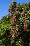 Lychees on tree Royalty Free Stock Photos