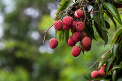 Lychees on tree Royalty Free Stock Photo