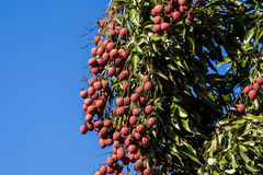 Lychees on tree Stock Photo