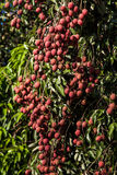 Lychees on tree Stock Image