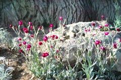 Lychnide et cinéraire de couronne de fleurs Photos stock