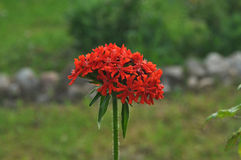 Lychnis. Blooms red flowers in the garden Royalty Free Stock Images