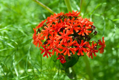 Lychnis chalcedonica stock photo
