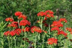Lychnis Chalcedonica flowers. In garden Stock Images