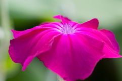 Lychnis coronaria flower Royalty Free Stock Photo