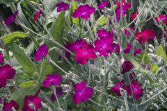 Lychnis coronaria. Pink mauve flowers with silvery stems and bright green leaves Royalty Free Stock Photos