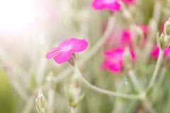 Lychnis coronaria rose flower Stock Image