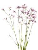 Lychnis flos-cuculi Stock Images