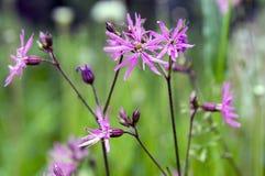Lychnis flos-cuculi blooming flower on meadow. Group of pink purple flowers Stock Photo