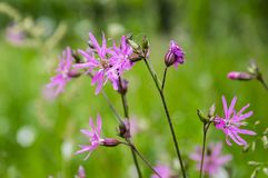Lychnis flos-cuculi blooming flower on meadow. Pink and purple wild flower Royalty Free Stock Photo