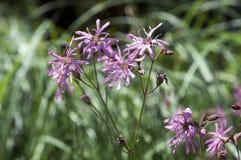 Lychnis flos-cuculi blooming flower on meadow. Pink and purple wild flower Stock Photo