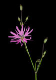 Lychnis flos-cuculi - closeup macro detail Ragged Robin flower Royalty Free Stock Photo