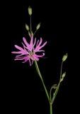 Lychnis flos-cuculi - closeup macro detail Ragged Robin flower Royalty Free Stock Photo