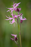 Lychnis flos-cuculi-Ragged Robin Stock Photography