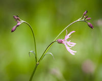 Lychnis flos-cuculi-Ragged Robin Stock Photos
