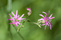 Lychnis flos-cuculi or ragged-robin pink widl flower plant detail natural Stock Photo