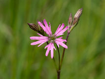 Lychnis flos-cuculi, Ragged robin, Pink wild flower. Royalty Free Stock Photo