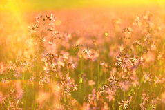 Lychnis at sunrise anstract background. Meadow pink flowers in the morning light Royalty Free Stock Photo
