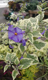 Lycianthes rantonnetii �Lynn's Variegated� Stock Photo