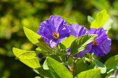 Lycianthes-rantonnetii, der blaue Kartoffelbusch oder Paraguay-Nightshade lizenzfreies stockfoto