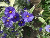 Lycianthes rantonnetii 'Variegata', Blue Potato Bush �Royal Robe Variegata� Stock Photo