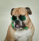 Lycka av den irländska bulldoggen arkivbild