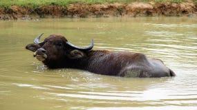 Lycka av den lösa vattenbuffeln med naturligt träsk royaltyfria foton