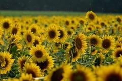 Lycka i framsidan av en solros Royaltyfria Bilder