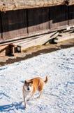 Lycklig Akita hund, Akita inu som går på insnöad vinter Royaltyfri Bild
