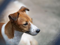 Lycklig aktiv ung stilig Jack Russel terrierhund royaltyfri bild