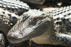 Lycklig alligator Arkivbild