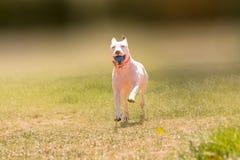Lycklig amerikansk spring för gropbull terrier hund på en parkera Arkivbilder