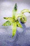 lycklig bambu Royaltyfria Bilder