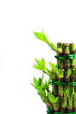 lycklig bambu Royaltyfri Foto