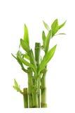 lycklig bambu Arkivfoton