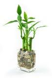 lycklig bambu Arkivfoto