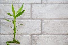 Lycklig bambu på den gråa bakgrunden för tegelstenvägg Arkivbilder