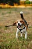 lycklig beagle Royaltyfria Bilder