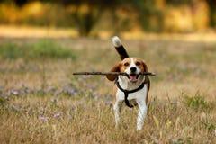 lycklig beagle Arkivbilder